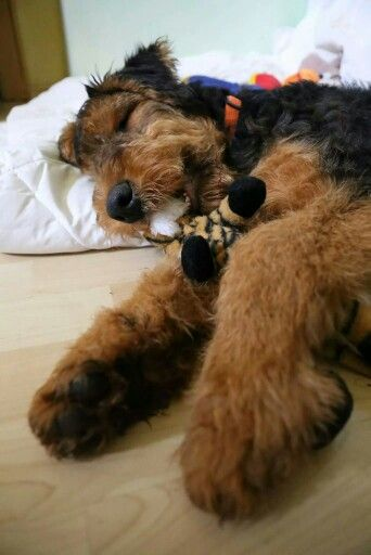 Adorable Airedale!!