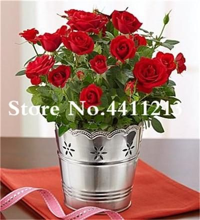 Free Shipping 100 Pcs Rare Holland Rose Bonsai Flowers Lover Colorful Home Garden Plants Indoor Bonsai Rose Flower Indoor Roses Plant Rose Care Rose Plant Care