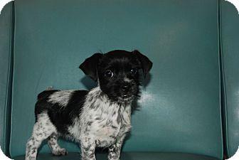 Shih Tzu Schnauzer Miniature Mix Puppy For Adoption In Ballston Spa New York Mayla Shih Tzu Puppy Adoption Pets