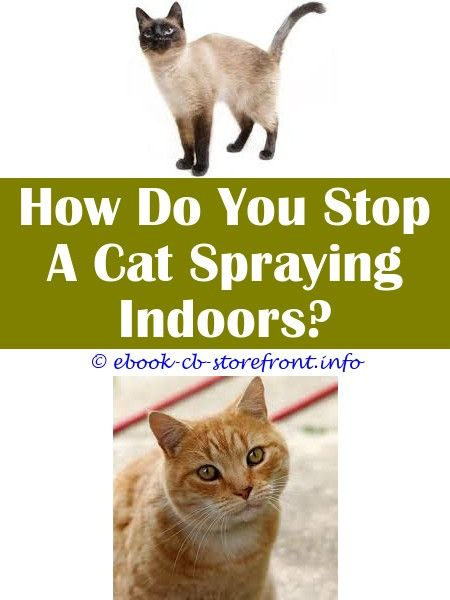 female cat spraying in the house