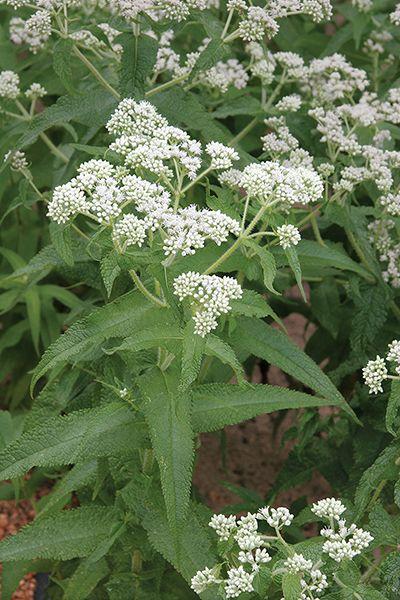 Boneset Rain Garden Design Small Flowering Plants Pollinator
