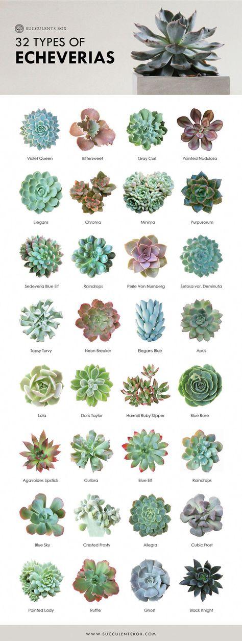 Echeveria Collection 32 types of Echeveria - Garden Types Succulent Outdoor, Succulent Landscaping, Succulent Gardening, Succulent Ideas, Gardening Tools, Succulent Terrarium Diy, Container Gardening, Succulent Wall Art, Outdoor Cactus Garden