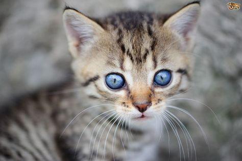 When Does A Kitten S Eyes Change Colour Com Imagens Animais