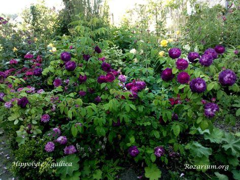 Roza Czerwona Gejsza Roze Krzewy Roz Pnaca 3066041107 Oficjalne Archiwum Allegro Flowers Plants Rose