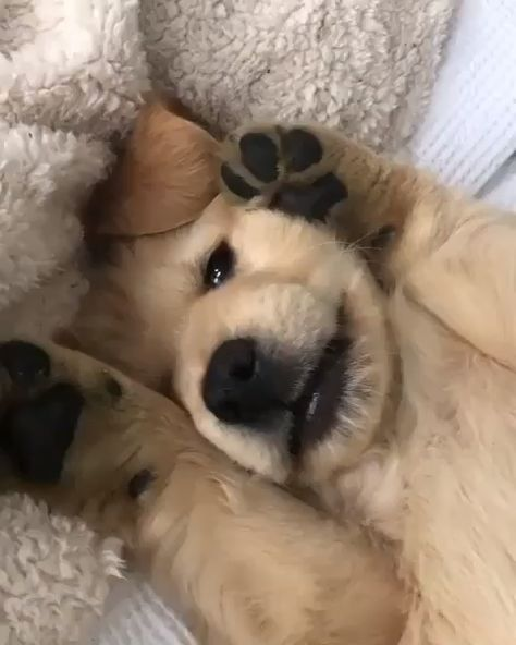This will melt your heart🥰❤️ #goldenretriever #goldenretrievers #gloriousgoldens #adorablegoldens #doglove #ilovegolden_retrievers #goldenretrieverpuppy #adorableanimals #retrieverpuppies #goldenretrieversworld #dogscorner #animaladdicts #dogs #doglovers #puppy #puppies  @billy.golden