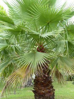 Washingtonia Filifera Palmier Eventail De Californie