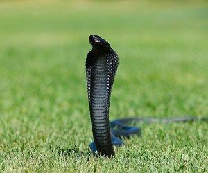 تفسير رؤية ثعبان اسود في الحلم الافعى السوداء في المنام Melanistic Animals Snake Wallpaper Cobra Snake