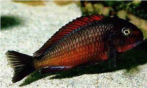 Tropheus Chimba Red Very Similar To The Moliro Firecracker Fish Pet Cichlids Fish
