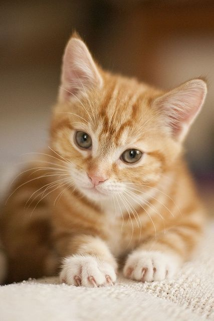 Pin By Dianna Campbell On Ginger Orange Cream Cats Orange Tabby