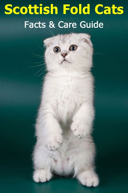 Scottish Fold Cats Facts And Care Guide Cat Articles In 2020 With Images Cat Scottish Fold