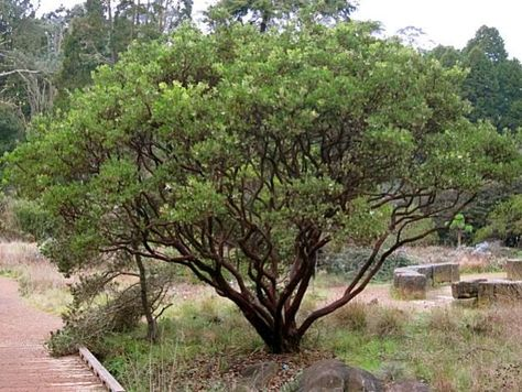Manzanita pruning: when and how