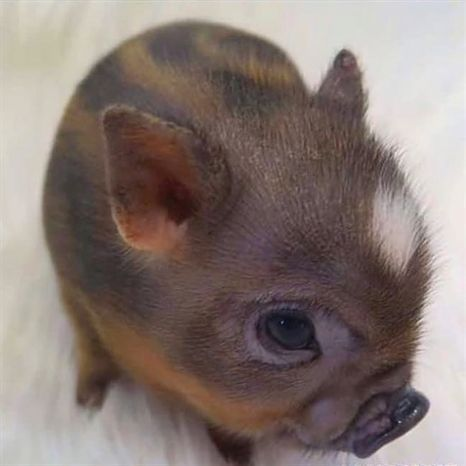 A newborn minipig #animal funny captions #animal funny humor #animal funny memes #baby animal funny #ein - #animal #captions #funny #minipig #newborn - #new