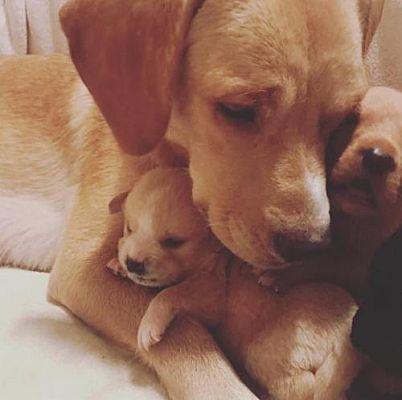 New York Ny Labrador Retriever Meet Becca A Dog For Adoption Labrador Retriever Pet Adoption Pets