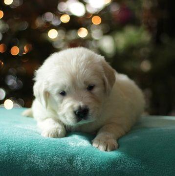 Golden Retriever Puppy For Sale In Gap Pa Adn 57808 On