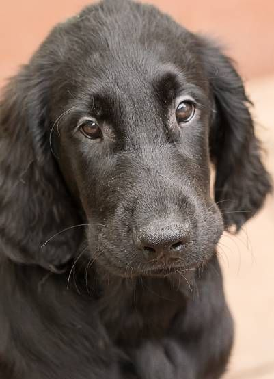 Kleine Hundezucht Mit Flat Coated Retriever Golden Retriever Aus Mainz Flatwelpen In Schwarz Hunderasse Flat Coated Retriever Riesige Hunde
