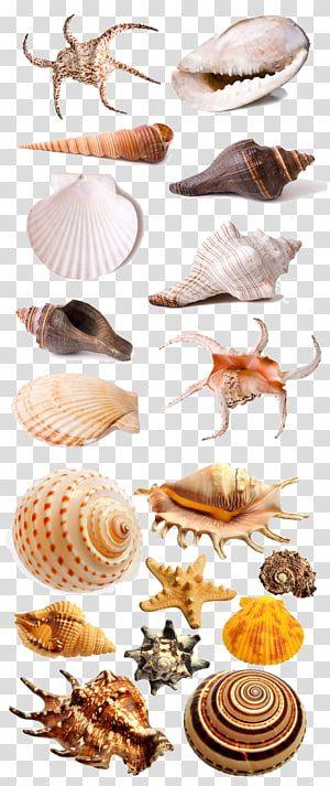 Assorted Shells Seafood Seashell Shell Transparent Background Png Clipart Transparent Background Transparent Clip Art