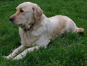 Golden Retriever Wikipedia Golden Retriever Retriever Terrier Breeds