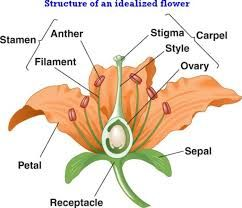 Image Result For How Many Parts Does A Complete Flower Have Flower Reproduction Planting Flowers Plant Study