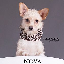 Pictures Of Nova A Norwich Terrier For Adoption In Southlake Tx