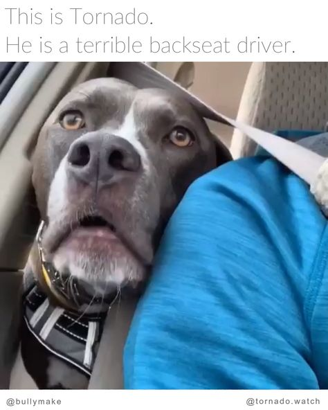 If you're not dramatic, how are people supposed to notice you? 🤷 via: @tornado.watch⠀ . Follow @bullymake for more adorable bullies!⠀⠀ . #pitbullsofinstagram #dontbullymybreed #bully #dog  #dogsofinstagram #pitbulls #puppy #pit #bullybreed  #pitbull #pitstagram #doglovers #staffy #americanbully