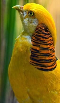 "Mellow Yellow - ""Golden Pheasant - Chrysolophus pictus "" by Ali Alqudsi"