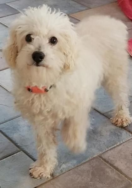 Bichon Frise Poodle Dog For Adoption In Dublin Dog Adoption Bichon Frise Dogs Dogs