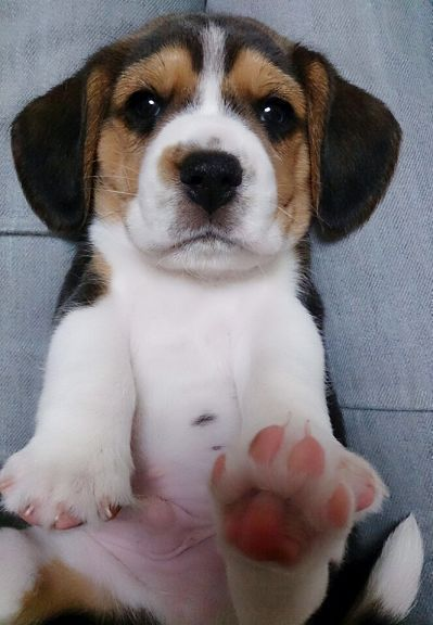 Cute Beagle Puppy Paws Beaglepuppy Cute Beagles Beagle Puppy