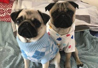 Social Pug Profile Pugs Dog Sleigh Baby Pug Dog