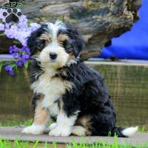 Mini Bernedoodle Puppies For Sale Bernedoodle Mini Bernedoodle