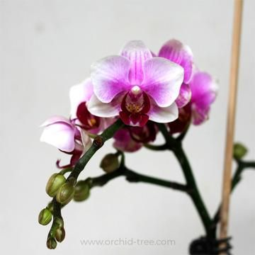 Phalaenopsis Ching Ann Dolly Orchid Tree Phalaenopsis Orchid Phalaenopsis