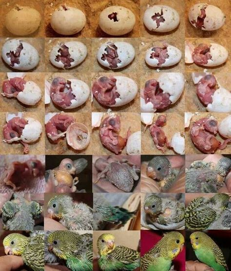 Development of Parakeet. Kind of weird looking when they are pink, but when they start getting their feathers, absolutely adorable!!!