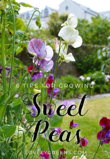 6 Tips For Growing Sweet Peas Growing Sweet Peas Beautiful