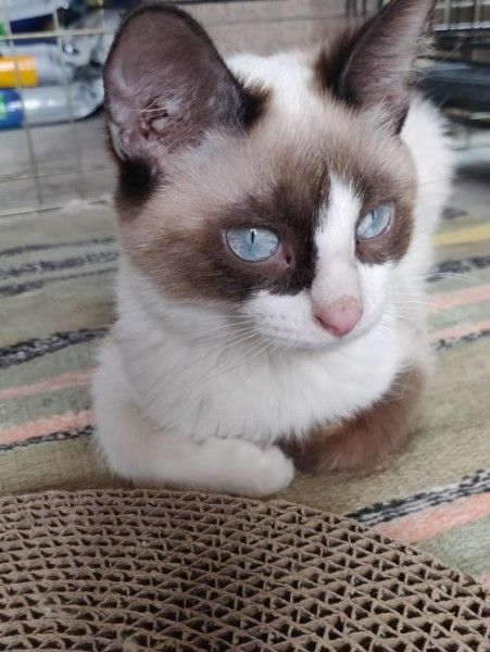 Siamese And Snowshoe Mixed Rescue Cat For Adoption In South Saint Paul Minnesota Emma In South Saint Paul Minnesot In 2020 Cat Adoption South Saint Paul Cat Rescue
