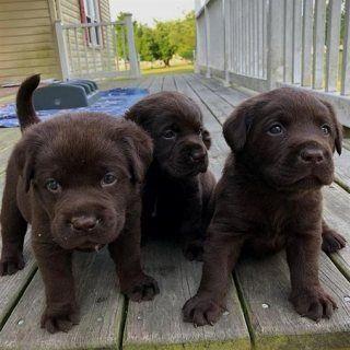 كلاب للبيع في دبي 3 جرو شوكولاتة لابرادور تركت 12 أسبوع ا من العمر كان لديها كل طلقا Labrador Retriever Labrador Retriever Facts Chocolate Labrador Retriever