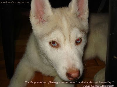 Funny Husky Pictures, siberian husky puppy