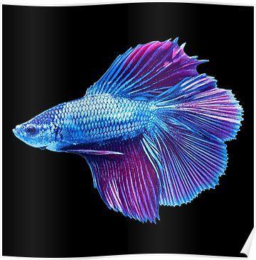 Emerald Blue Betta Siamese Fish Poster Pet Fish Siamese Fighting Fish Betta Fish Tattoo