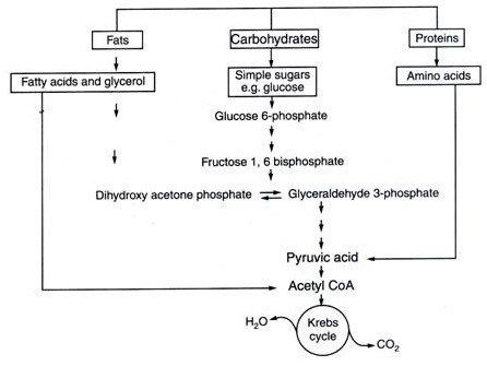 Plus One Botany Notes Chapter 10 Respiration in Plants - A