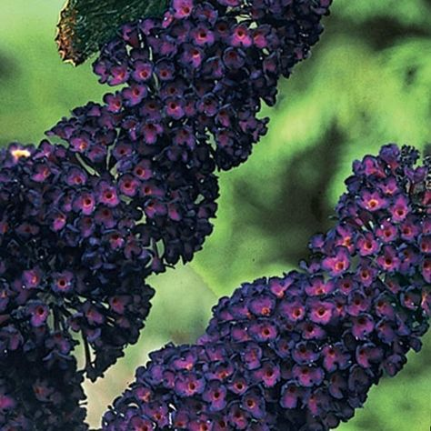 """Black Knight Butterfly Bush - Graceful trusses smothered with dark purple flowers from midsummer to fall attract flocks of butterflies. 6-8' tall with a similar spread. Ships in a 4"""" pot. Zones 4-9 Buddleia davidii 'Black Knight'...the photo does not do this beautiful plant justice...dark almost black flowerettes with hearts of bright magenta."""