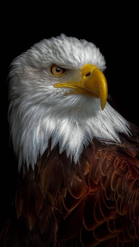 Eagle Wallpaper by georgekev - - Free on ZEDGE™ now. Browse millions of popular america Wallpapers and Ringtones on Zedge and personalize your phone to suit you. Browse our content now and free your phone Eagle Wallpaper, Wallpaper Images Hd, Lion Wallpaper, Animal Wallpaper, Eagle Images, Eagle Pictures, Pictures Of Bald Eagles, Nature Animals, Animals And Pets
