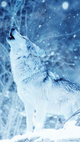 Pin By Fernanda Borbon On Wolf Wolf Wallpaper Snow Wolf Wolf Photos