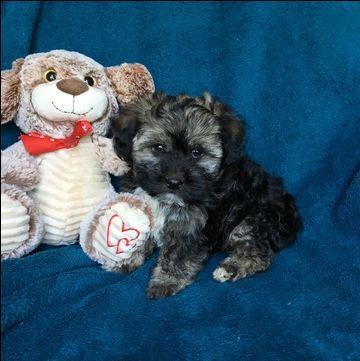 Havanese Puppy For Sale In Houston Tx Adn 37551 On Puppyfinder Com Gender Male Age 1 Puppies For Sale Havanese Puppies For Sale Havanese Puppies