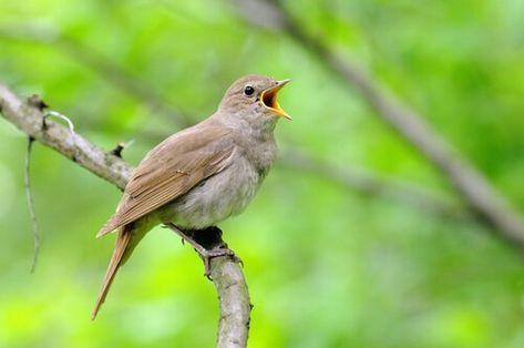 6 Tipos De Pájaros Cantores Mis Animales Jaulas Para Canarios Fotos De Aves Pajaros