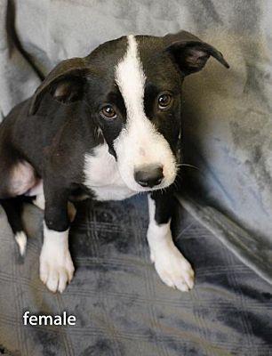 Sterling Ma Labrador Retriever Meet Avail 5 25 Pen 7 Lab Terrier X 4 Mos Click4pix A Dog For Adoption Need Adopted Love 3 Pets Labrador Retriever Labrador Retriever Mix