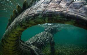 Dem Krokodil ganz nah - Im Angesicht des Todes