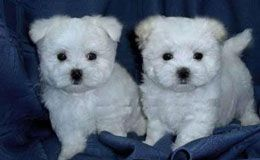 Maltese Puppies For Sale New York Westchester Maltese Puppy Teacup Puppies Maltese Funny Puppy Pictures