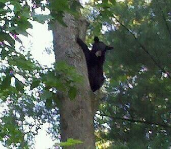87 Best HillBilly Bear Pics I've Taken images   Bear pics