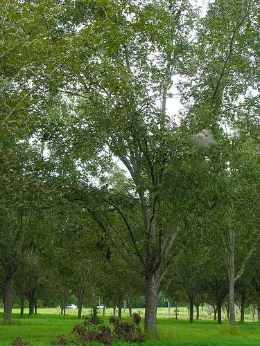 How To Get Rid Of Worms In Pecan Trees