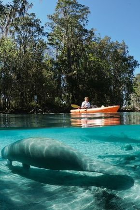 Stand Up Paddleboard Or Kayak With Manatees In Crystal River Florida 6 Summer Adventures That May Just Change Your Life Kayaking Travel Usa Florida Travel