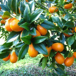 أشجار مثمرة للبيع في الإمارات موقع لبيع الأشجار المثمرة كوزا جاردن In 2020 Kumquat Tree Kumquat Fruit