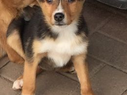 Red Welsh Border Collies Collie Puppies Collie Border Collie